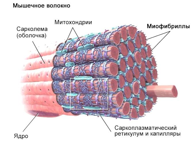 stroenie-mychecnogo-volokna
