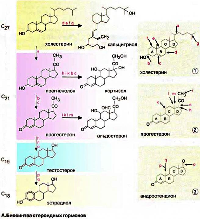 Синтез стероидных гормонов