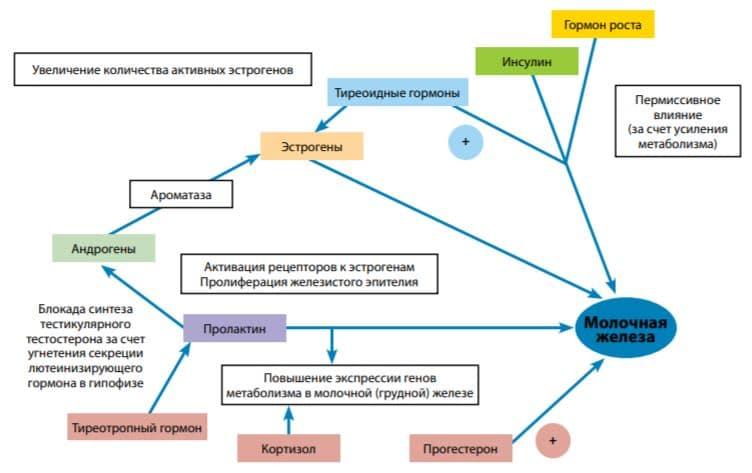 Схема гормональной регуляции молочной (грудной) железы у мужчин